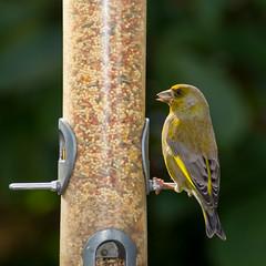 20170810_0464_60D-400 European Greenfinch at feeder (222/365)