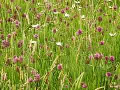 Natures Garden (Lancashire Lass :) :) :)) Tags: explore quote nature garden grass daisy clover pink white green field meadow countryside july summer oxeyedaisy flowers wildflowers