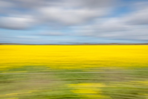 Canola Fields-6