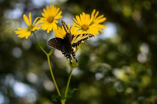 Butterflies in the Bokeh