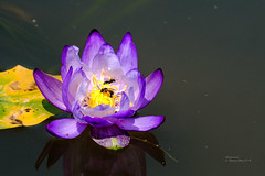 SX171140 (Daegeon Shin) Tags: fujifilm xpro2 fujinon xf55200 55200 flower flor waterlily 수련 nenúfar animal bee abeja 후지 후지논 꽃 동물 벌 insect insecto 곤충