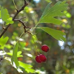*Crataegus monogyna, ONE-SEEDED HAWTHORN (openspacer) Tags: berry crataegus hawthorn jasperridgebiologicalpreserve nonnative rosaceae tree jrbp