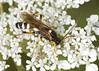 Ichneumon - Ichneumon sarcitorius (Prank F) Tags: kettonquarry lrwt wildlifetrust ketton rutland uk wildlife nature insect macro closeup wasp ichneumon ichneumonsarcitorius