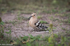 Hoopoe  /Härfågel (Upupa epops) (Hans Olofsson) Tags: härfågel birdfågel kalmarkommun byrum hoopoe upupaepops wiedehopf sweden småland