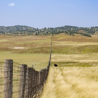 Buffalo fence