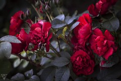 Red Roses (jameslonely) Tags: flower flowers red rose roses redroses redrose photoshop adobe lightroom cc raw cs photo art day rain artwork beautifull real