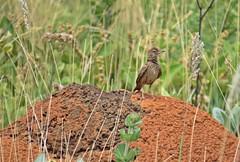 Geositta poeciloptera - andarilho3 (Conexão Selvagem) Tags: observaçãodeaves serra canastra parque nacional cerrado aves bird wildlife galito rapina gavião nature natureza do avesdobrasil