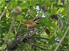 Melanopareia torquata - tapaculo-de-colarinho1 (Conexão Selvagem) Tags: observaçãodeaves serra canastra parque nacional cerrado aves bird wildlife galito rapina gavião