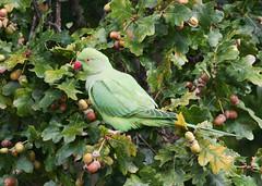 Ring-necked parakeet (roger_forster) Tags: ringneckedparakeet psittaculakrameri bird wild nonnative richmondpark richmond royalparks london england oak acorn feeding tree branches leaves