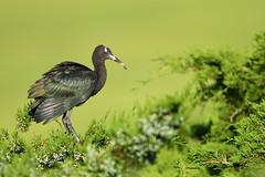Juvenile Glossy Ibis (Mark Schwall) Tags: wildlife markschwallphotographycom d500 nikon newjersey nj bird juvenile plegadisfalcinellus glossyibis wadingbird rookery manualfocus nikkor600mmf4ais