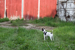 Standing at the Gate (marylea) Tags: 2017 jul21 walk summer evening rural michigan washtenawcounty dooley puppy parsonrussellterrier parsonrussell dog terrier farm decay ruraldecay 1897 prt