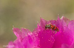 So much pollen, so little time (Photosuze) Tags: beetles flowers flora bugs pollination cactus cacti succulents animals nature wildlife desert pollen