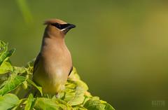 Jaseur d'Amérique // Cedar Waxwing (Alexandre Légaré) Tags: nikon d3200 bird oiseau wildlife cedarwaxwing jaseurdamérique bombycillacedrorum