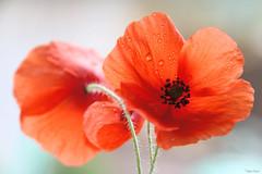 Fin d'été ... (martine_ferron) Tags: fleur coquelicot goutte pluie rouge