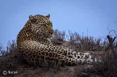Léopard au crépuscule.jpg (BoCat31) Tags: faunesauvage afriquedusud léopard