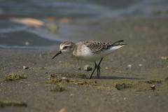 Western Sandpiper (jamieg_) Tags: harrison shorebird beach sandpiper peep calidrismauri bird nature avian bc water lagoon bay
