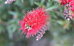 2017 Sydney Park Bottlebrush #2 (dominotic) Tags: 2017 sydneypark plant flower callistemon bottlebrush australiannativeplant red green sydney australia