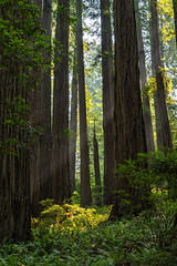 Smoke (Aaron Fredericy) Tags: redwoodsnationalpark redwoods redwood redwoodnationalforest california hiking green summer forestfire smoke pacificnorthwest pnw camping explore