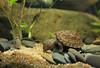 IMG_9803 (Laurent Lebois ©) Tags: laurentlebois france reptile rettile reptil рептилия tortue turtle tortoise tortuga tartaruga schildkröte черепаха chelonia sternotherus minor terrariophilie razorbackmuskturtle cinosterne