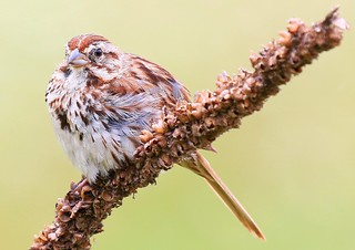song sparrow at Seed Savers Exchange IA 854A7925