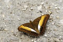 Parasarpa zayla (Hiro Takenouchi) Tags: india nature nymphalidae nymphalid limenitidinae wildlife insect arunachal butterflies butterfly schmetterling papillon mariposa