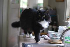Batman standing (rootcrop54) Tags: batman longhair tuxedo male polydactyl hemingway mittens fluffy neko macska kedi 猫 kočka kissa γάτα köttur kucing gatto 고양이 kaķis katė katt katze katzen kot кошка mačka maček kitteh chat ネコ