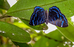 Ionotus alector (Edson Roberto - Potim) Tags: borboleta ionotus ionotusalector riodinidae lepidoptera butterfly natureza brazil