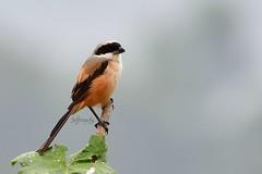 Long-tailed Shrike 棕背伯勞 (Jeffreycfy) Tags: shrike birds birding animals wildlife nature nikon d500 nikkor200500mmf56e lanidae laniusschach 伯勞科 鳴禽 棕背伯勞