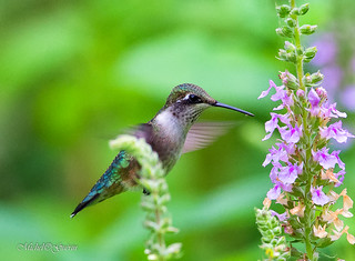 Colibri à gorge rubis - Ruby-throated Hummingbird