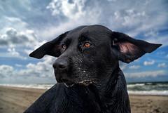 flying ears (uwe.kast) Tags: labrador labradorretriever labradorredriver hund haustier dog wind nordsee northsee sea denmark danmark dänemark nikon nikon1 nikon1v1 nikonone ft1