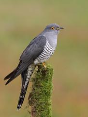 Common Cuckoo (oddie25) Tags: canon 5dmkiv 600mmf4ii cuckoo commoncuckoo wildlife wildlifephotography nature naturephotography bird birds birdphotography
