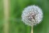 blowball (yona87) Tags: blowball blatt blume löwenzahn grün green wiese