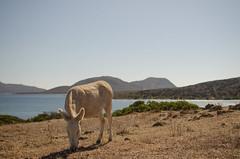 vacanze sarde_-71 (Trittonando) Tags: asinara sardegna sardinha asinello bianco carcere