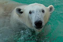 PolarBear WildlandsZoo (K.Verhulst) Tags: polarbears polarbear ijsberen ijsbeer bears beren wildlandsadventurezoo wildlands emmen