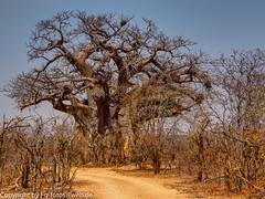 Baobab (xrxss15) Tags: adansonia affenbrotbäume africa baobab broadleavedtrees exposurefusionphotomatix forest krugernationalpark landscape landschaft laubbäume methodnatural mpumalanga natur nature pflanzen plants southafrica tree outofacar