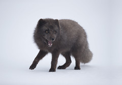 Arctic fox. (richard.mcmanus.) Tags: arctic arcticfox iceland westfjords mcmanus mammal animal gettyimages fox