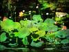 Lotus Dream (bethrosengard) Tags: bethrosengard photomanipulation digitallyenhanced photoart digitalmagic digitalart