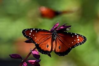 Queen butterfly DSC_1296