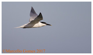Sandwich Tern (Thalasseus sandvicensis) SATE - Flying Sandwich (best seen larger)