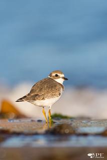 ''La plage!'' Pluvier semipalmé-Charadrius semipalmatus