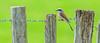 The red-backed shrike (Lanius collurio) (Andrea Bovolo) Tags: giffaumontchampaubert grandest france fr the redbacked shrike lanius collurio it laverla piccola nl grauwe klauwier