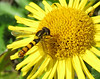 libel op heelblaadje ( (Pulicaria dysenterica) (marcella2/tovje) Tags: heelblaadje pulicariadysenterica zweefvlieg