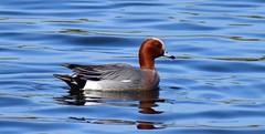 Eurasian Wigeon (Anas Penelope) at Ringstead, Private Fishery, Northants. UK (Ian J Hicks) Tags:
