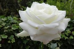 White Rose (Gartenzauber) Tags: floralfantasy doublefantasy