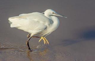 DSC1415  Little Egret..