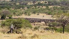 Migracao GNU - Travessia do Rio Mara 01 (Joao Pena Rebelo) Tags: tanzania gnus wildebeest migration safari serengeti wildebeests marariver