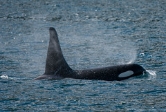 Blowin' in the Wind (Tim Melling) Tags: orcinusorca killer whale orca vancouver island resident male timmelling