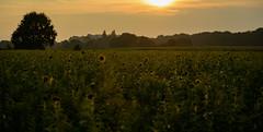 Abendstimmung (st.weber71) Tags: sonne sonnenuntergang farben feld felder nikon nrw niederrhein sonnenlicht sonnenblumen wiese natur d800 deutschland germany wärme bäume himmel hünxe abendstimmung abendhimmel abendsonne outdoor