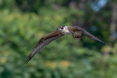 Osprey (Joe Branco) Tags: ontario canada lightroomcc2015 photoshopcc2017 nature wildlifephotography branco joe nikond500 nikon raptors birds wildlife joebrancophotography red osprey