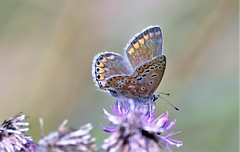Beautiful Blue. (pstone646) Tags: blue butterfly insect nature flower feeding fauna flora bokeh closeup animal wildlife kent